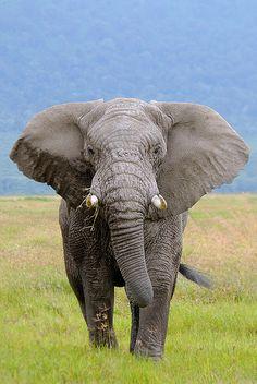 Bull Elephant. Ngorongora Crater by natural diversity, via Flickr