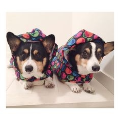 We'z don't poop  in diz rain!  Don't matta how cute we'z look in our matchy rain coats.   Pawpalswithannie.com Photo/caption credit: @corginista #pawpalswithannie #pawpalsbox #getmore #spoileddog #pawrents #love #gift #subscriptionbox #happydog #ilovemydog #dog #dogs #dogsofinstagram #ilovedogs #instadogs #doggy #doggie #doglife #dogsofig #mydog #puppies #puppy #puppylove #doglove #mydog #mypuppy #mydogisthecutest #mansbestfriend