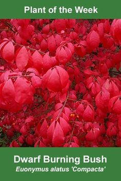 Burning Bush.  A perfect name for such brilliant red fall foliage.