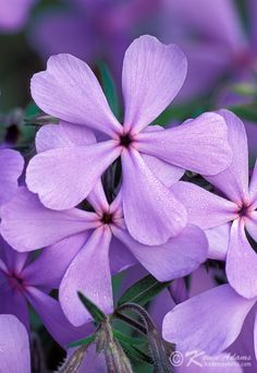 Wild Blue Phlox-Phlox Divaricata  (Distribution: Ontario,Quebec) Moisture Requirements: Normal, Moist / Light Requirements: Partial Shade, Shade, Deciduous Shade (Spring Sun) / Soil Requirements: Clay, Sand, Loam Zone: 3