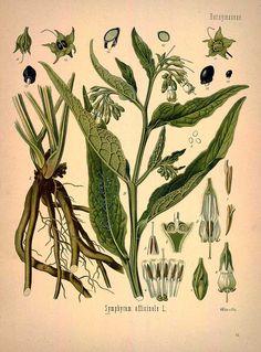 Symphytum officinale L., Common comfrey - Medicinal Botanical Plants