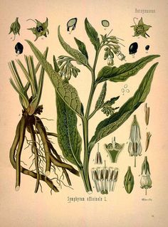 Symphytum officinale L., Common comfrey - Medicinal Botanical Plants