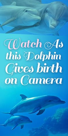 Watch As This Dolphin Gives Birth On Camera