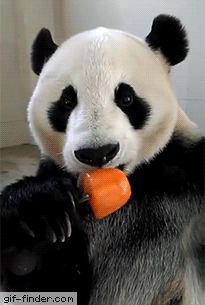 Just a panda enjoying his popsicle | Gif Finder – Find and Share funny animated gifs