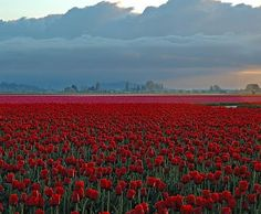 tulip field in Washington state. what a beautifull sight.