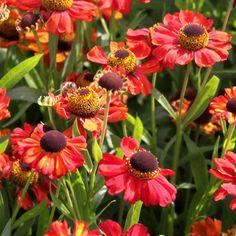 Syyshohdekukka Red Army - Helenium autumnale/ Viherpeukalot