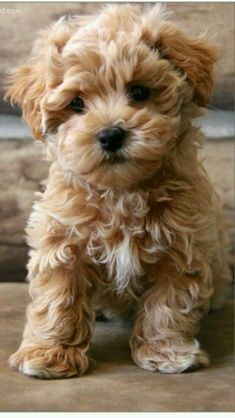 Facts and Photos About the Teddy Bear Dog Breed - Dogs - Chien Cute Baby Animals, Animals And Pets, Funny Animals, Funny Dogs, Cute Baby Dogs, Cutest Animals, Wild Animals, Bear Dog Breed, Cute Dogs And Puppies