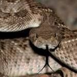 Man bitten by rattlesnake receives 80 doses of antivenom | Fox News  A Texas man was released from the hospital a week after he was bitten by a poisonous rattlesnake in his backyard.