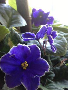 Velvety deep blue African violets.