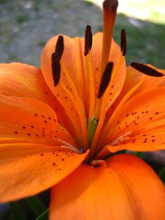 Love my Orange lilies for Fall color to the garden.