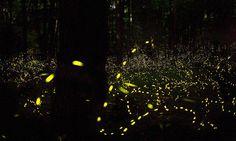 Large groups of fireflies sometimes illuminate in unison.