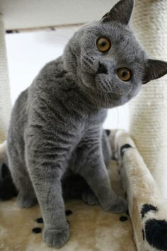 British shorthair blue, Puck