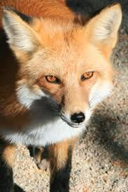 Image result for fox eyes