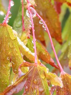 "Rain drops on leaves.    "":O)"