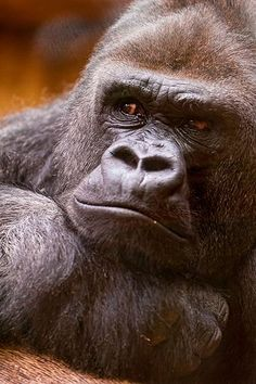 A second portrait of the big male gorilla of the zoo of Zürich, in a cool posture and not smiling at all. Silverback Gorilla, Chimpanzee, Big Gorilla, Animals And Pets, Cute Animals, Wild Animals, Animals Beautiful, Beautiful Creatures, Los Primates