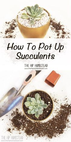 How to Pot Up Succulents: Succulents are great houseplants, which is why I thought you might be interested in learning How to Pot Up Succulents.