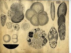 Unicellular Organisms by Christian Gottfried Ehrenberg (1830's)