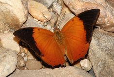 Tawny Raha (eats carrion)-Butterflies of Malaysia - Charaxes bernardus