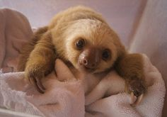 List O' Top Ten Cool Exotic Pets a baby sloth