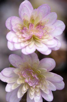 Stockfoto Hepatica japonica 'Yuzuru', Japaisches Leberblümchen by Herzig-Foto