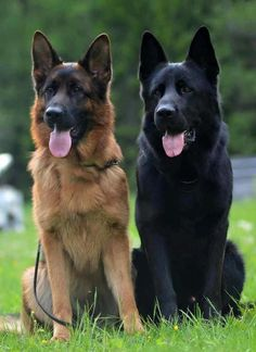 Wicked Training Your German Shepherd Dog Ideas. Mind Blowing Training Your German Shepherd Dog Ideas. Big Dogs, Cute Dogs, Dogs And Puppies, Doggies, German Sheperd Dogs, Black German Shepherd Puppies, Black German Shepherds, Shepherd Dogs, Large German Shepherd