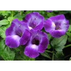 Torenia ´Purple Coolaris´ ® /