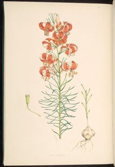 https://flic.kr/p/bv44py | n88_w1150 | A monograph of the genus Lilium. London : Printed by Taylor and Francis, [1877]-1880.. biodiversitylibrary.org/page/287017
