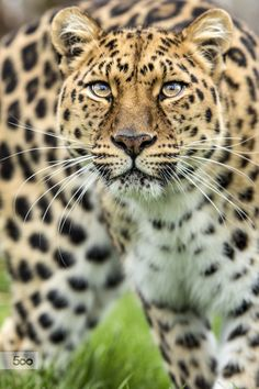 Photo Amur Leopard by Colin Langford