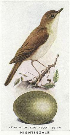 Vintage Cig Card, Nightingale & Egg