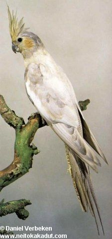 Cockatiel Mutations   Black head cockatiels mutation Parakeets, Cockatiel, Parrots, Parrot Bird, Bird Feathers, Beautiful Birds, Pet Birds, Cute Animals, Wildlife