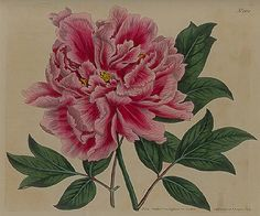 Chinese Tree Peony by William Curtis