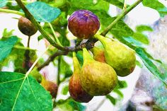I uploaded new artwork to fineartamerica.com! - 'Figs On The Branch Of A Fig Tree' - http://fineartamerica.com/featured/figs-on-the-branch-of-a-fig-tree-lanjee-chee.html via @fineartamerica