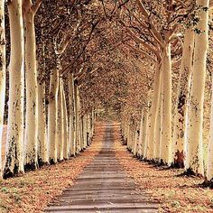 An avenue of trees in the Champagne region of France  www.girlsguidetoparis.com