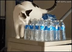 CAT GIF • Physics Cat being a jerk knocking water bottles onto the ground