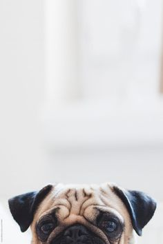 Pug dog eyes and ears. Cute Dog Wallpaper, Dog Wallpaper Iphone, Tier Wallpaper, Animal Wallpaper, Dog Lockscreen, Wallpaper Pictures, Funny Animals, Cute Animals, Wild Animals