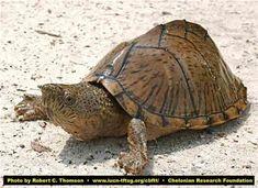 Razorback Musk Turtle Musk Turtle, Tortoise Table, Funny Animals, Cute Animals, Aquatic Turtles, Pet Snake, Turtle Love, Reptiles And Amphibians, Tortoises