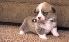Corgi puppies learn how to climb... EVERYTHING GOOD ABOUT THIS WORLD! #Corgi #Puppy #Squee