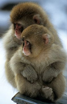 Young Japanese macaques huddle together for warmth. Nagano, Japan