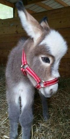 How cute is this baby donkey anyway? : How cute is this baby donkey anyway? Baby Donkey, Mini Donkey, Donkey Funny, Cute Donkey, Mini Pigs, Cute Creatures, Beautiful Creatures, Animals Beautiful, Majestic Animals