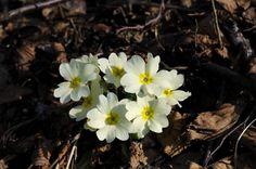 Primula comune (Primula vulgaris)