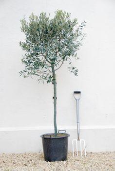 Olea europaea 'Standard'  Olive Tree  £30
