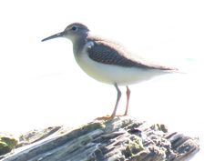 Bird Photos, Birding Sites, Bird Information: NONBREEDING SPOTTED SANDPIPER, LAKE ONTARIO, LYNDE...