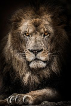 Lion Images, Lion Pictures, Lion And Lioness, Lion Of Judah, Lion Wallpaper, Animal Wallpaper, Animals And Pets, Cute Animals, Wild Animals