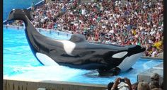 FREE   THE WHALES  Orca whale! Captivity is in humane treatment