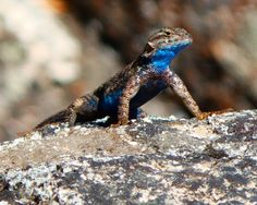 Sceloporus occidentalis taylori - Sierra Fence Lizard