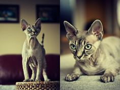 Devon Rex called Holger