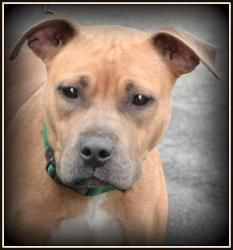 Peaches is an adoptable Pit Bull Terrier Dog in Warren, OH. Beautiful Peaches has recently weaned a litter of pups. She is so very pretty! About 18 months old, and weighing 57 lbs, she is a sweet sw...