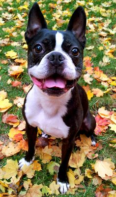Oliver, Boston Terrier