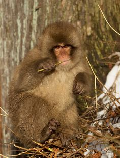 Snow monkey eating. - Japanese macaque eating.