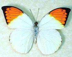 Hebomoia glaucippe -  Native Origin: Indonesia